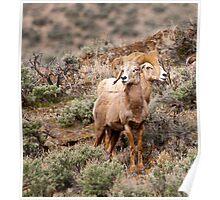 Desert Big Horn Rams  Poster