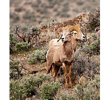 Desert Big Horn Rams  Photographic Print