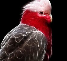 Galah by margotk
