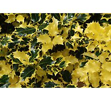 Variegated Holly Photographic Print