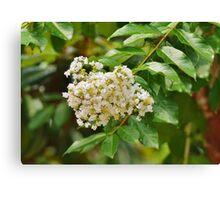 White Crepe Myrtle Canvas Print