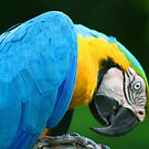 Macaw - Amazon Rainforest by David McGilchrist