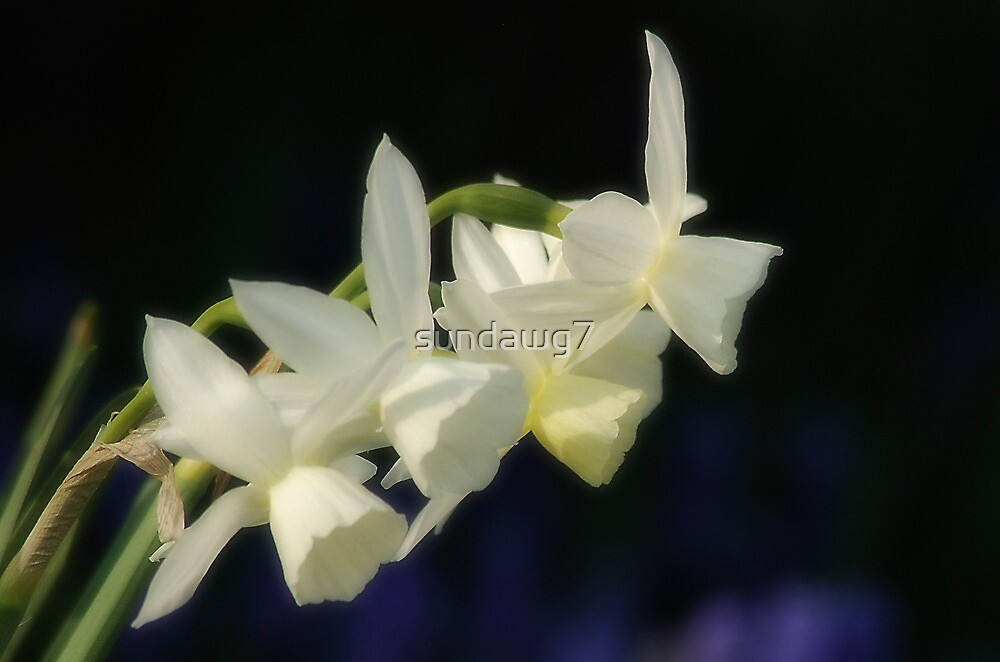 Vanilla Fragrance by sundawg7