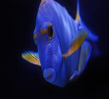 Blue Tang 2 by Gypsykiss