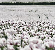 large White Poppies by Murray Breingan