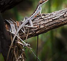 long nosed dragon - karijini, western australia by col hellmuth
