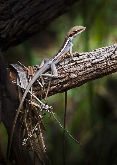 long nosed dragon - karijini, western australia by col hellmuth