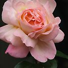 Rose (6031) by ScenerybyDesign
