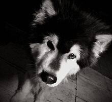 Mika the Alaskan Malamute by tommygee