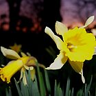 Daffodils at Sunset by Sophie MacLeod
