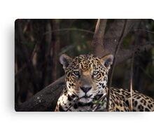 Jaguar - Pantanal in Brazil Canvas Print