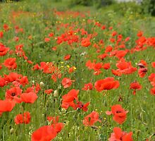 red poppies in the field by Lena127