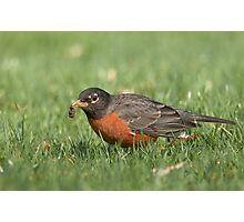 American Robin with Grub Photographic Print