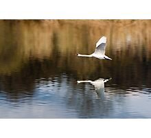 flight of the swan Photographic Print