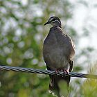 Common Bronzewing,Denmark West Australia by robynart
