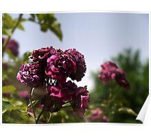 Roses in the desert Poster