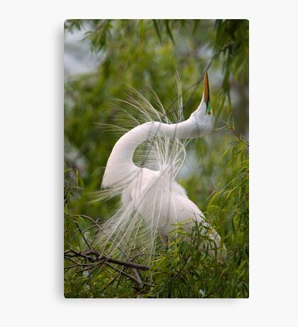Great Egret in Courtship Dance Canvas Print