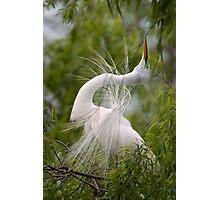 Great Egret in Courtship Dance Photographic Print