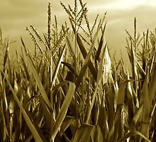 Corn color by Gillou