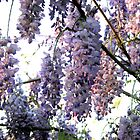 Spring Wisteria 2 by Meredith Ward