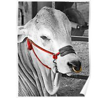cow with colored head-rope and gold nose ring Poster
