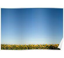 Sunflowers, Little Thetford, Cambridgeshire Poster