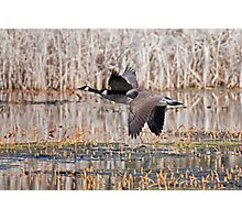 Honkers Photographic Print