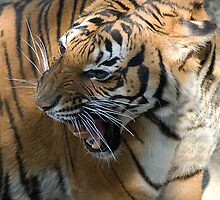 I am not happy - Malayan Tiger by Kathy Newton