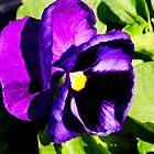 Purple Pansy by Tricia Stucenski