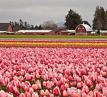 A Farm at Tulip Town, Skagit Valley by Barb White