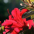 Azalea In Red by ericb
