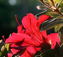 Azalea In Red by ericb