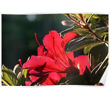 Azalea In Red Poster