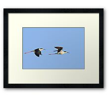 Black-necked Stilts Framed Print