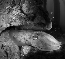 Cuttlefish lurking - presented in black and white by Stephen Colquitt