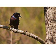 Black bird on a tree Photographic Print