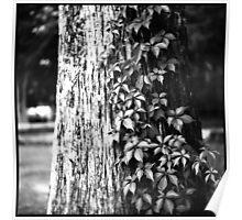Cypress Vine Poster