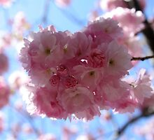 Hanami at Brooklyn Botanic Garden by M.C. O'Connor