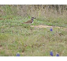 Killdeer Photographic Print