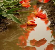 Reflections of the Tulips by lizalady