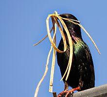 nest builder, starling, The Rower, County Kilkenny, Ireland by Andrew Jones
