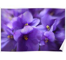 Violets Poster