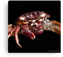 Crab: A Portrait 2 Canvas Print