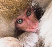 Baby Onsen Monkey by Paul Fulwood