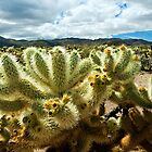Cholla Cactus  by Zane Paxton