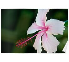 Pale Pink Hibiscus Poster