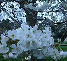 White Blossom in Kensington Gardens, April 2010 by Portia Greenwood