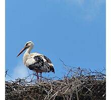 Stork in the Nest Photographic Print