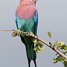 Lilac-breasted Roller by Paulo van Breugel