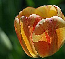 Tulip Backlit by Monnie Ryan